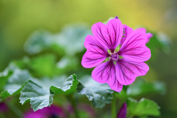 Beautiful closeup of common mallow (malva sylvestris), with purple flower head isolated on a...