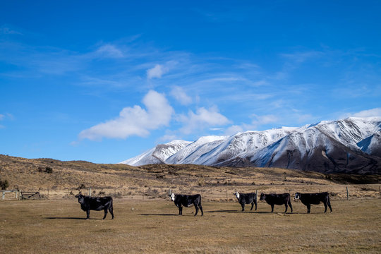 Farmland with grazing black cows and snow mountain on background in south island, New Zealand
