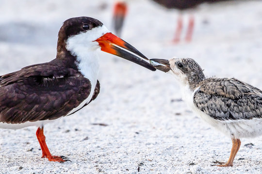 Skimmers feeding their young chicks