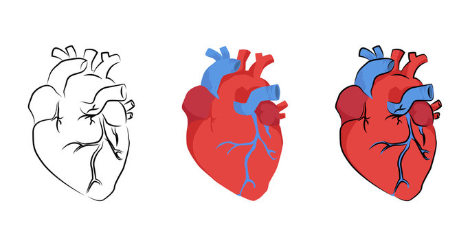 human heart organ in different styles, vector