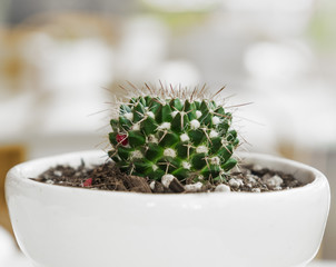 Cactus potted plant - stylish natural decor