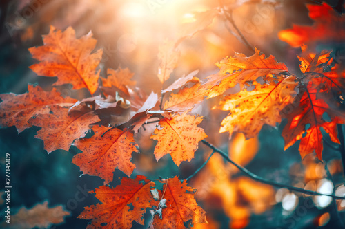 Wall mural Autumn colorful bright leaves swinging on an oak tree in autumnal park. Fall  background. Beautiful nature scene