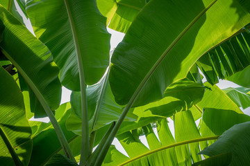 Image of green banana leaves