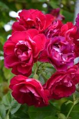 Obraz kwiat, roz, charakter, rose, roślin, jardin, piwonia, kwiat, kwiat, beuty, kwiat, kwiatowy, zieleń, flora, czerwień, lato, feuille, piękne, goździk, makro, bliska, kocham, jary, płatek - fototapety do salonu