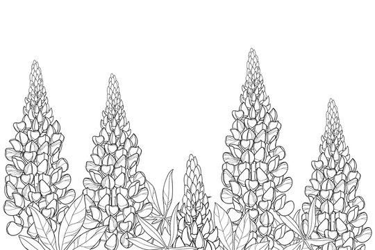 Field with outline Lupin or Lupine or Bluebonnet flower bunch, bud and ornate leaves in black isolated on white background.