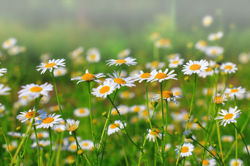 Daisies on the meadow, Bavaria, Germany