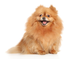 Happy young Spitz dog on white