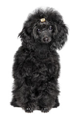Black toy Poodle puppy on white background