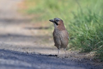 Eurasian jay (Garrulus glandarius) sitting on the ground. Wildlife scene from nature.