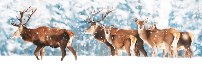 Wall Mural - A noble deer with females in the herd against the background of a beautiful winter snow forest. Artistic winter landscape. Christmas photography. Winter wonderland. Wide format.