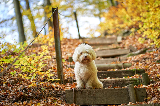 Black and white havanese dog sitting in forest in autumn with leaves looking