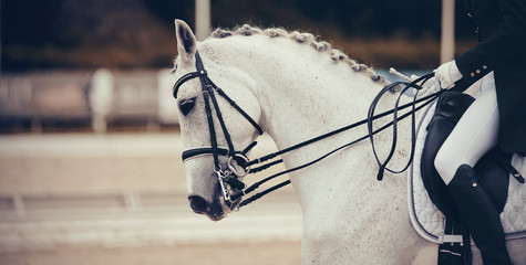 Portrait sports stallion in the double bridle. Dressage horse.