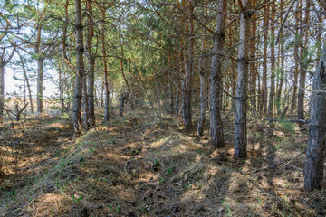 Fototapeta Footpath among tree planting. Pine trees in spring sunny day. Beautiful spring landscape.