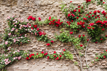Idyllic scene of a rustic structured old wall covered by rose branches