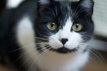 Black and white cat with immunodeficiency