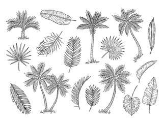 Sketch palm tree. Tropical rain forest trees and exotic palm leaves vintage hand drawing vector isolated set. Foliage leaf exotic, organic palm, botany tropical illustration