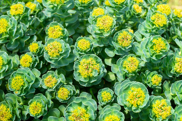 Rhodiola rosea blossom by springtime at solar day