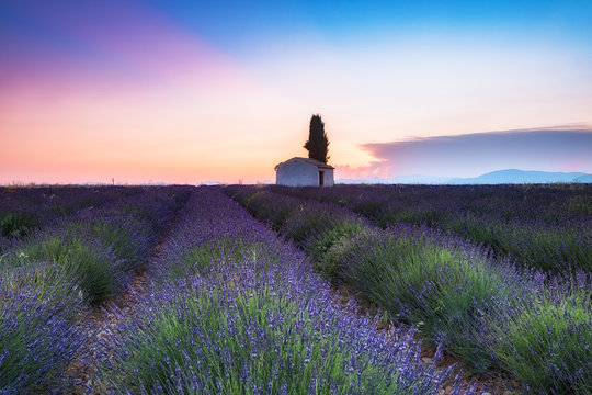 colorful fields of lavender in blossom at valensole, France