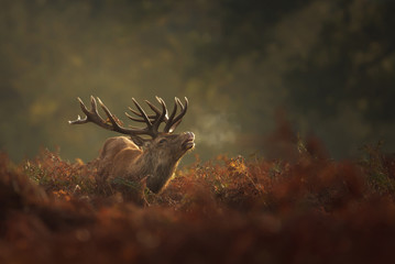 Red Deer stag during rutting season with breath condensing on a misty autumn morning