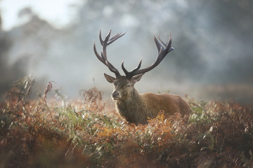 Red deer stag during rutting season on a foggy autumn morning
