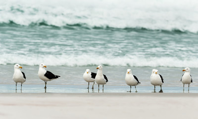 Group of kelp gulls on a sandy beach