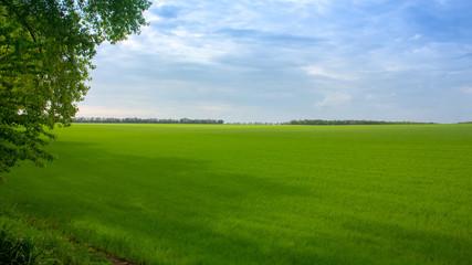Wall Murals Green Fields with green wheat under a blue sky landscape