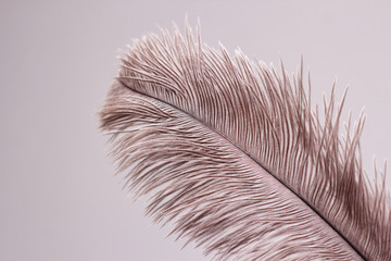 Poster Struisvogel Single ostrich feather on white background.