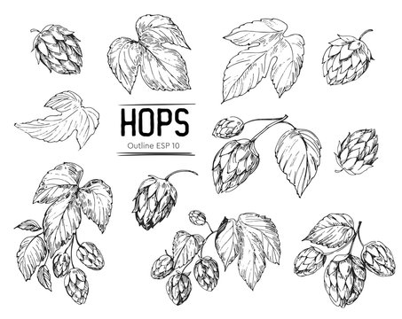 Sketch of a hop plant. Hop cones. Hand drawn illustration converted to vector