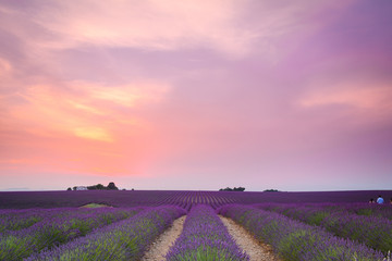 Foto op Canvas Lichtroze colorful fields of lavender at valensole plateau, France