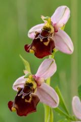 Blüte der einheimischen Orchidee Hummelragwurz -  Ophrys holoserica