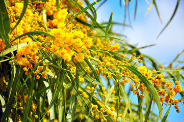 Acacia pycnantha, Golden Wattle, Australian floral emblem that flowers in late winter and spring...