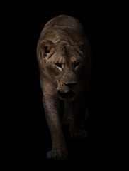 female lion walking in dark background