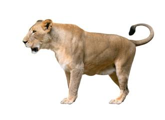 female lion walking isolated on white background