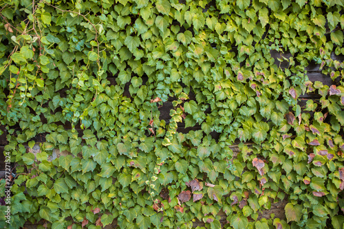 Wall Covered By Ivy Hedera Helix Ivy Texture Hedge Background