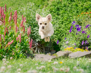 Cream white colored Chihuahua running fast, jumping and flying in a flowering garden, a frontal view of a happy little dog