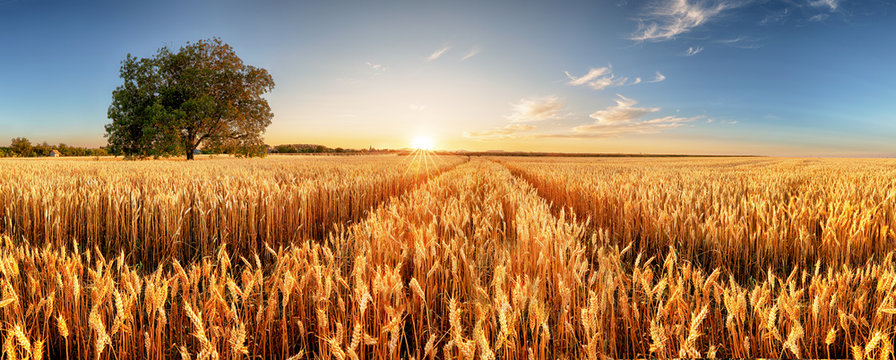 Wheat flied panorama with tree at sunset, rural countryside - Agriculture