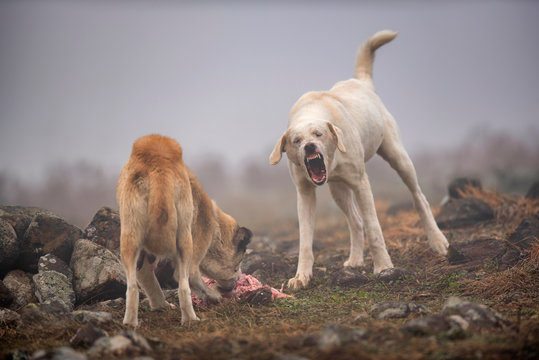 wild dogs are fighting for prey