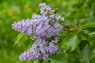 Keuken foto achterwand Lilac Clusters of blooming lilacs in early spring in May