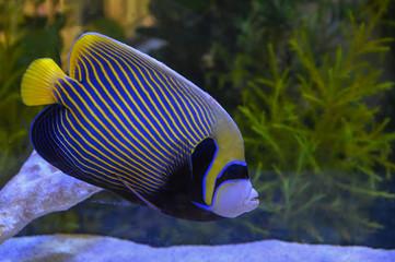 Fototapeta Beautiful marine angelfish fish obraz