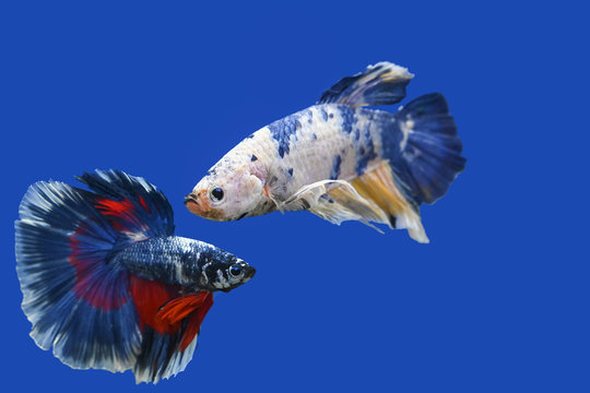 Two betta fish on a blue background