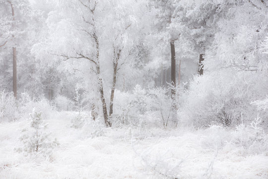 A fairytale winter forest with snow on the trees in december, National Park Dwingelderveld, The Netherlands