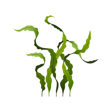 Spirulina seaweed healthy food, undersea algae isolated on white background, vector illustration