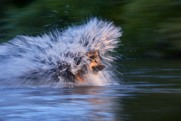Dog running fast in a splashing water, due long exposure photo express dynamic and strongness. Bohemian shepherd, purebred, agile family dog. Low angle photo. Dog breed native to Czech republic.