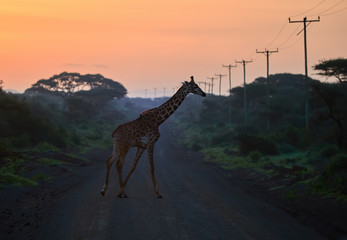 Giraffe crossing gravel road with wooden electrical poles against orange morning sky. An african landscape at the foot of a volcano Kilimanjaro, Amboseli, Kenya. Wildlife photography in Kenya.