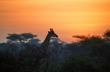 Silhoutte of Giraffe in a vibrant early morning african landscape at the foot of a volcano Kilimanjaro, Amboseli national park, Kenya. Wildlife photography in Kenya. African morning mood.