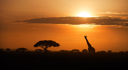 ypical african landscape at the foot of a volcano Kilimanjaro, Amboseli national park border, Kenya. Silhouettes of acacia trees and a giraffe against orange sunset. Wildlife photography in Kenya.