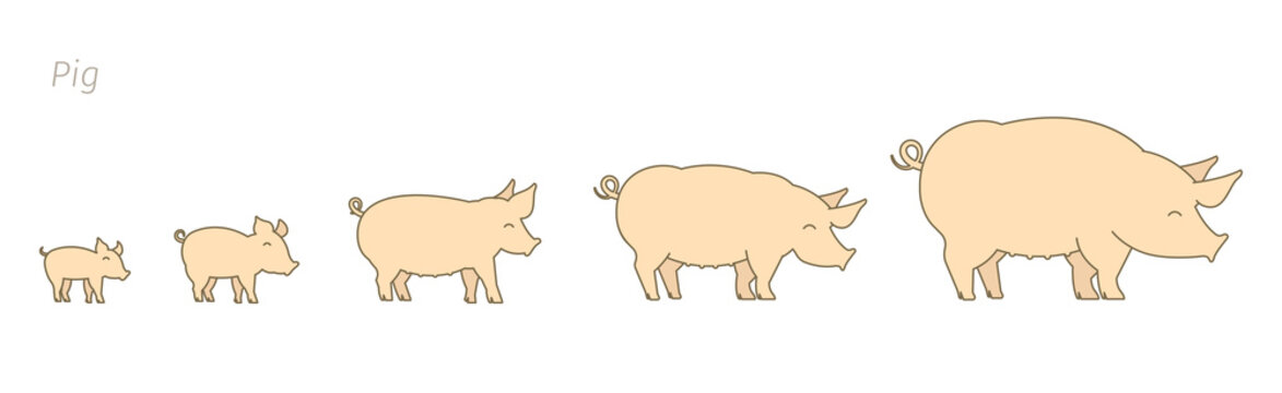 Pig farm. Breeding pigs set. Stages of pig growth. Pork production. Cattle raising. Piglet grow up animation progression. Flat vector.