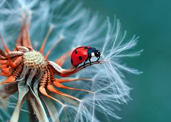 Fotobehang Macrofotografie Beautiful Ladybug on dandelion defocused background