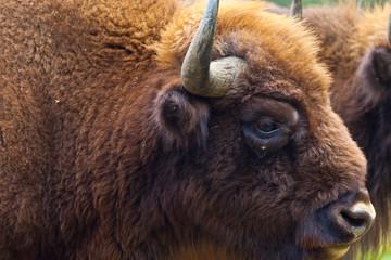 Fototapeta WISENT or EUROPEAN BISON - BISONTE EUROPEO (Bison bonasus)