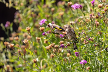 Goldfinch (juvenile) feeding on seeds of Brown Knapweed, xxl+more: bartussek.xmstore